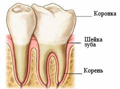 stroenie-zuba-cheloveka-shema