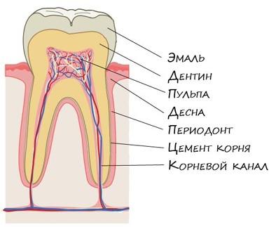 stroenie-zuba